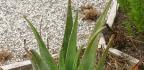 Jaké jsou výhody pití šťávy z Aloe vera?